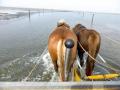 Neuwerk-Pferde-Wasser
